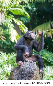 A Chimpanzee sit on the rock and uses a straw as a tool to get the food from the hole on the rock.   The chimpanzee  is a species of great ape native to the forests and savannahs of tropical Africa