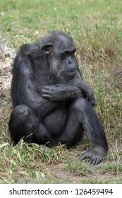 Chimpanzee sitting in the grass