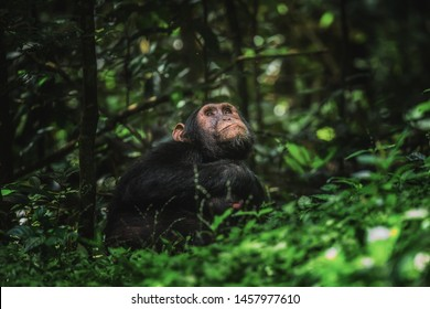 Chimpanzee sitting on the ground looking up in the trees in the rainforest in Kibale National Park Uganda