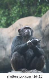 Chimpanzee sitting on a rock