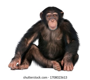 Chimpanzee sitting on a white background