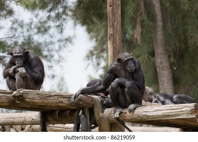 Chimpanzee sitting on the wooden flooring