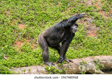 Chimpanzee standing Handing out arms for food