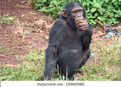 Chimpanzee thinking pose