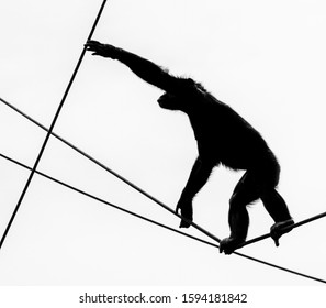 chimpanzee tightrope walking. The image is black and white and the animal is viewed as a silhouette only.