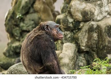 Chimpanzee in zoo.
