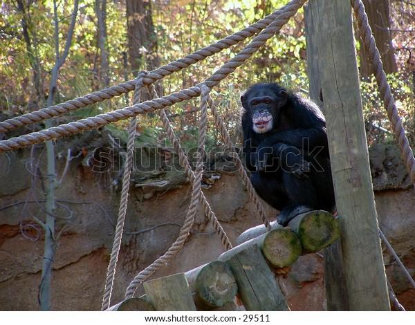 chimpanzee at the zoo