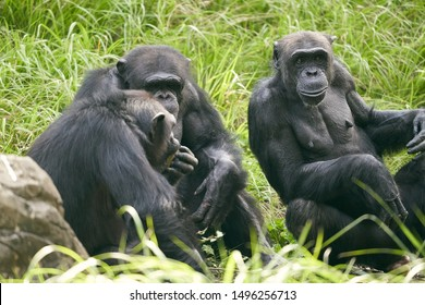 Chimpanzee in the zoological park