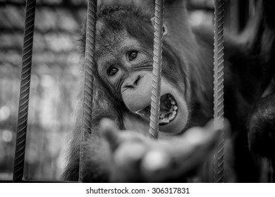 The chimpanzee.A monkey  in the cage of zoo.