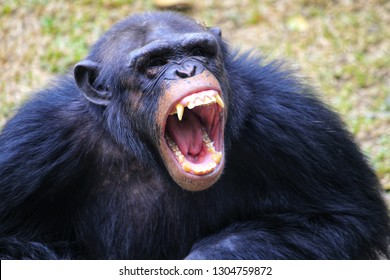 chimpanzees are angry