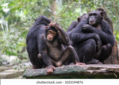Chimpanzees live in large multi-male and multi-female social groups, which are called communities.