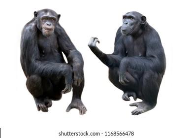 Chimpanzees on white background.