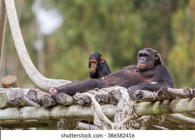 chimpazee and baby resting in the afternoon