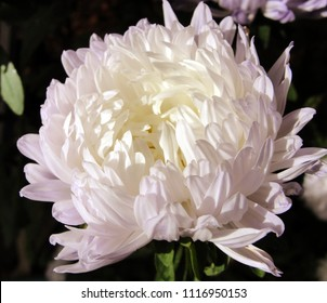 China aster with peony like flowers, white flower in bloom