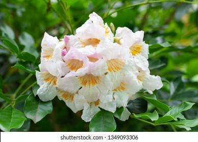 China doll flower or radermachera sinica on tree
