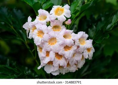 China doll flower or radermachera sinica , a trumpet-like flower
