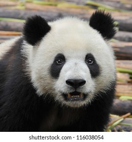 China 's giant panda bear