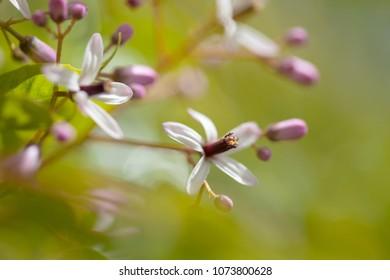 chinaberry tree,  Melia azedarach, macro floral background
