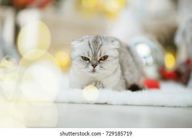Chinchilla cat on xmas background