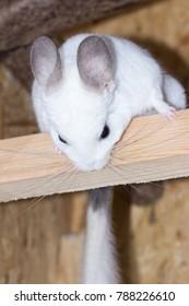 Chinchilla hangs on a piece of wood (chinchillidae - white ebony piebald)