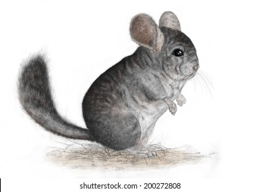 Chinchilla lanigera standing - white (no background)