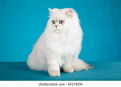 Chinchilla on blue background