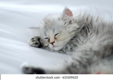 chinchilla persian cat sleep on white bed,sick cat