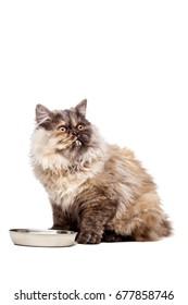 Chinchilla Persian little kitty having milk, isolated on white background