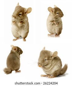 chinchilla sequence shot isolated on white