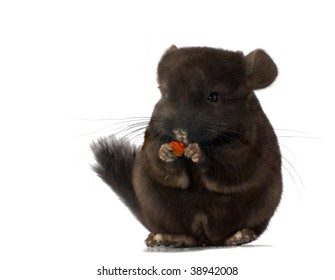 chinchilla standing and holding food isolated on white