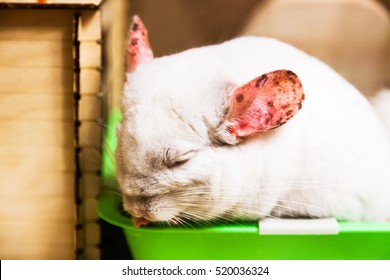 Chinchilla white with pink spotted ears