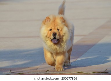 Chines chow chow walking