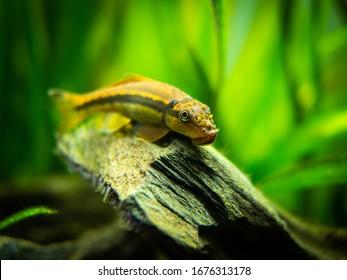 Chinese Algae Eater close up in fish tank (Gyrinocheilus aymonieri) with blurred background