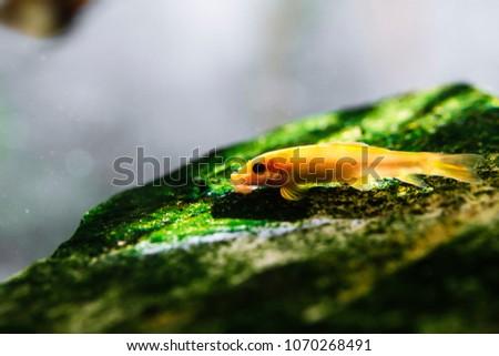 Chinese Algae Eater A Popular Bottom Feeder In Tropical Fish Tanks.