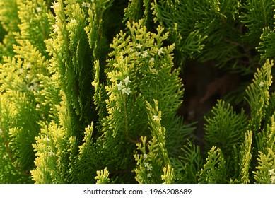 Chinese arborvitae ( Platycladus orientalis ) leaves and flowers. Cupressaceae evergreen conifer.