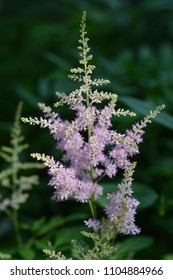Chinese astilbe pink flowers - Latin name - Astilbe chinensis