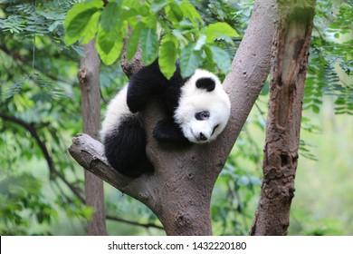 Chinese baby panda climbing in tree