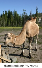 A Chinese bactrian camel, having two humps, grazes near Kanas in the mountain national park