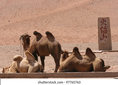 Chinese bactrian camels await tourist riders near the flaming cliffs, the hottest place in China