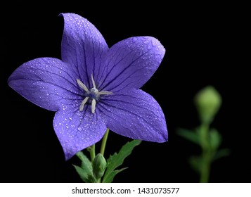 Chinese bellflower a little violet flower front view Platycodon grandiflorus