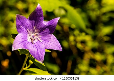 Chinese bellflower, medicine plant with flower