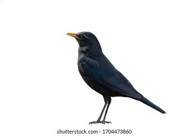 Chinese Blackbird on a white background.