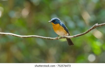 Chinese Blue Flycatcher ( Cyornis glaucicomans ) in Thailand