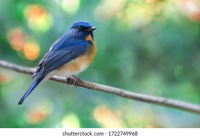 Chinese blue-flycatcher hold on the branch