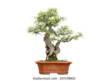 Chinese Bonsai, isolated in white background