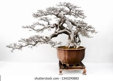 Bonsai Dead Images Stock Photos Vectors Shutterstock