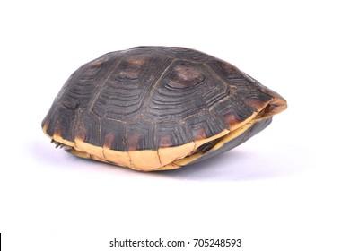 Chinese box turtle, Cuora flavomarginata flavomarginata