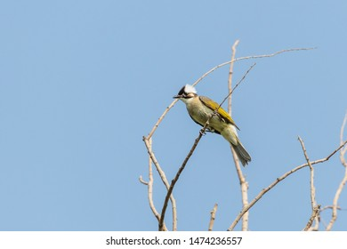 Chinese bulbul stand on the tree at Beijing, China