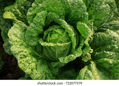 chinese cabbage crops in growth at field