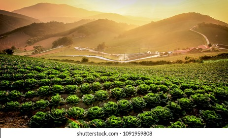 Chinese cabbage field in the morning